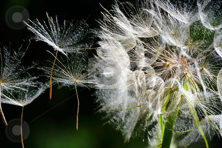 Dandelion Seeds stock photo, Up close view of a large white Dandelion puffball with the seeds flying away in a light breeze by Lynn Bendickson