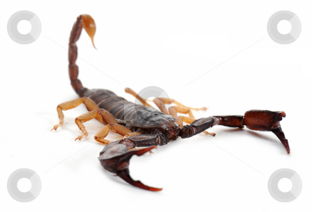 Brown scorpion stock photo, brown scorpion isolated on white background, focus on the head by Bonzami Emmanuelle