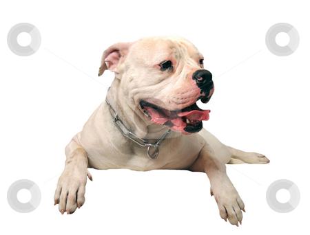 American bulldog stock photo, Portrait of a purebred american bulldog on a white background by Bonzami Emmanuelle