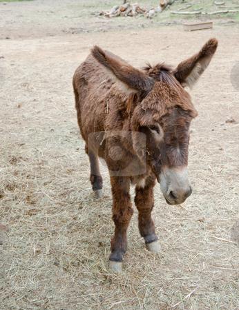 Mule stock photo, Mule at Guedelon castle, France by Jaime Pharr