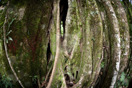 Strangler Fig Tree stock photo, Strangler Fig Tree in Costa Rican cloud forest by Scott Griessel