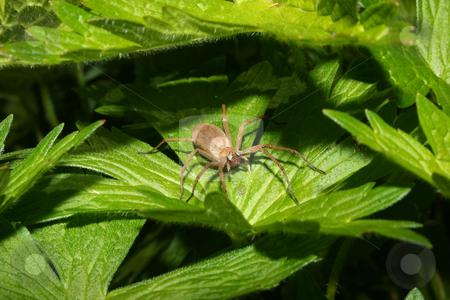 Nursery web spider (Pisaura mirabilis) stock photo, Nursery web spider (Pisaura mirabilis) - Female on a leaf by Torsten Dietrich