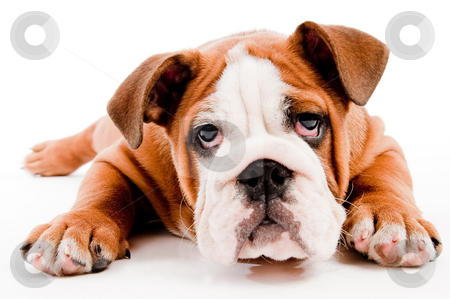 Cute dog stock photo, English Bulldog puppy on isolated background by Get4net
