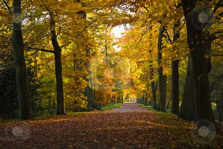 Golden beechlane in October stock photo, Last silent sunny day on this golden beechlane in October by Colette Planken-Kooij