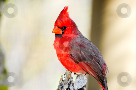 northern cardinal stock photo, A bright red northern cardinal perched on a tree by Don Fink