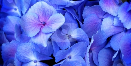 Hydrangea stock photo, Close up of a group blue and pink hydrangea by Henrik Lehnerer