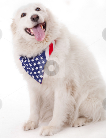 Cute dog wearing american flag scarf stock photo, Cute dog wearing american flag scarf on the neck by Get4net