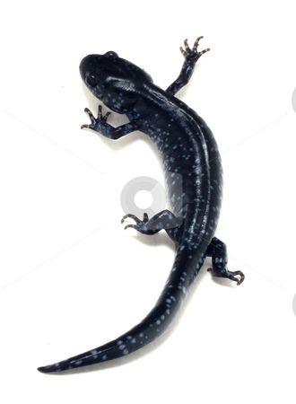 Blue Spotted Salamander (Ambystoma laterale) stock photo, Blue Spotted Salamander (Ambystoma laterale) isolated on white background by Michiel De Wit