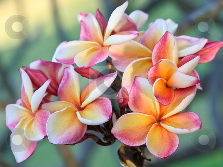 Flower stock photo, Plumeria flowers thailand by Charles Taylor