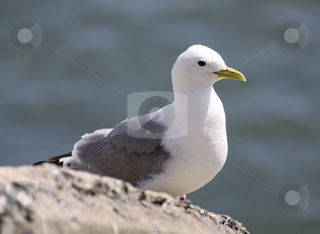 Portait of seagull stock photo, Portrait of seagull with sea in backtground. by Martin Crowdy