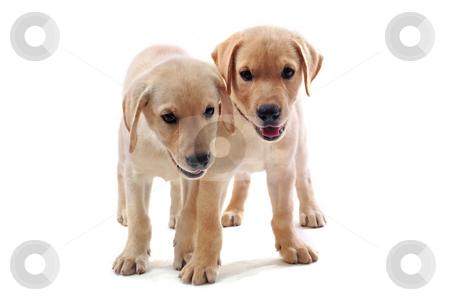 Puppies labrador retriever stock photo, Two purebred puppies labrador retriever upright on a white background by Bonzami Emmanuelle