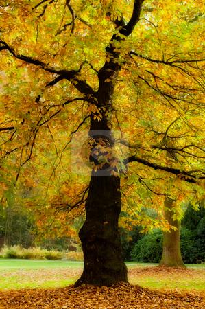Autumn splendor stock photo, Golden trees in a park in full autumn splendor by Anneke