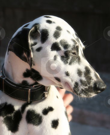 Profile of dalmatian dog with black collar stock photo, Close profile of a gorgeous an nice dalmatian dog with black collar, her face full of spots by Laura Esteban Abajo