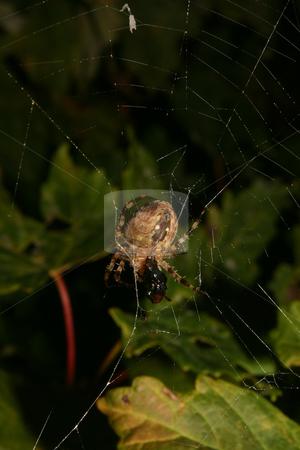 European garden spider (Araneus diadematus) stock photo, European garden spider (Araneus diadematus) in their Net by Torsten Dietrich