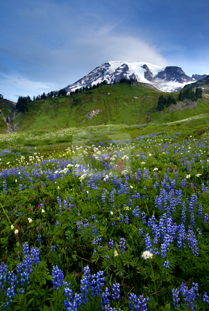 Wildflower Peak stock photo, Mt. Rainier in early morning light from an alpine meadow alive with wildflowers including lupine, paintbrush and pasquale flower. by Mike Dawson