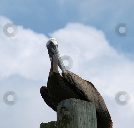 Pelican on the dock stock photo, A pelican roosting on a dock pylon at the ocean by Tim Markley