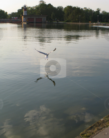Seagull_ stock photo, A seagull skims the water surface for food on Lake Mendota in Madison, Wisconsin by Bruce Peterson