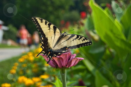 Butterfly on flowers stock photo, Monarch butterfly landing on flower by Todd Thatcher