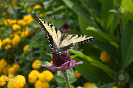 Butterfly in marigolds stock photo, Monarch butterfly in flowers gardens by Todd Thatcher