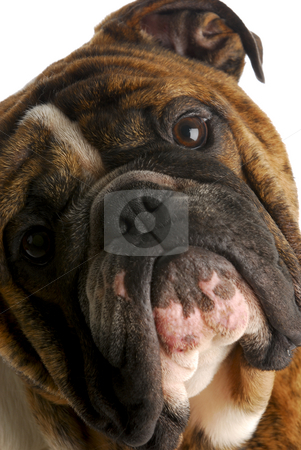 Bulldog head stock photo, Cute english bulldog looking at viewer with head tilted to side on white background by John McAllister