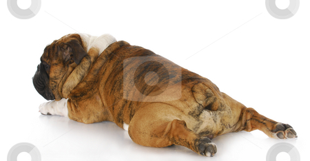 Dog stretched out stock photo, English bulldog with back legs stretched out behind with reflection on white background by John McAllister