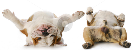 Heads and tails stock photo, Heads and tails of two english bulldog males laying on back with reflection on white background by John McAllister