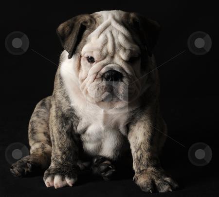Bulldog puppy stock photo, English bulldog puppy sitting on black background by John McAllister