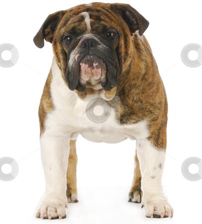 English bulldog stock photo, English bulldog standing isolated on white background by John McAllister