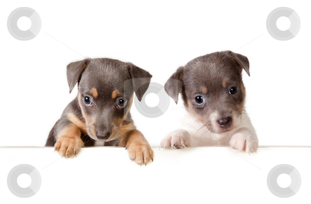 Message from the dogs stock photo, Isolated 6 weeks old jack russel puppy dogs with a white message by Anneke