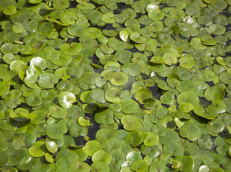 Water-lily stock photo, Small green leaves of a water-lily on a water table by Liubov Nazarova