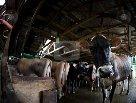 Cow on a dairy farm stock photo, Cow in a herd waiting to be milked on Costa Rican dairy farm by Scott Griessel