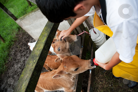 Young boy working on Costa Rican dairy farm feeding calf stock photo, Young boy in apron working on Costa Rican dairy farm fedding hungry calf by Scott Griessel