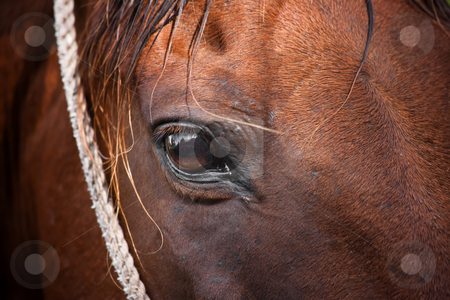 Horse stock photo, Horse maintained for tourist riders in Costa Rica by Scott Griessel