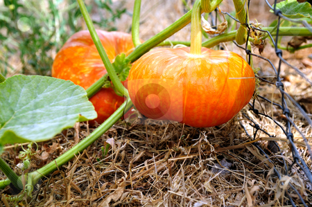 Cinderella Pumpkin stock photo, Cinderella Pumpkins growing on the vine almost ready for Halloween. These are an heirloom variety of the normal type of pumpkin. by Lynn Bendickson