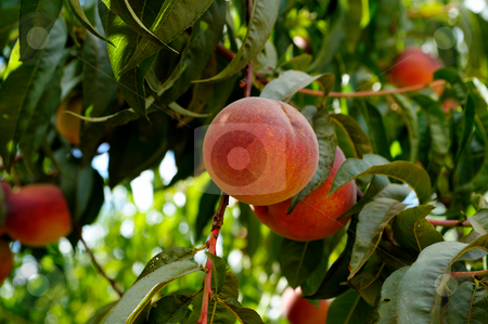 Fresh Summer Peaches stock photo, Fresh summer peaches almost ready for harvest and delivery to farmers market by Lynn Bendickson