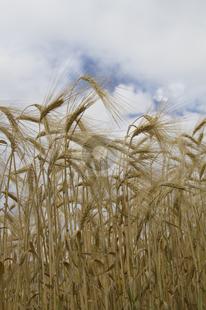 Weat field stock photo, Close up of a wheat field against a cloudy sky by Yann Poirier