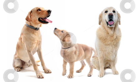 Labrador and golden retriever stock photo, purebred  labrador retriever and golden retriever in front of a white background by Bonzami Emmanuelle