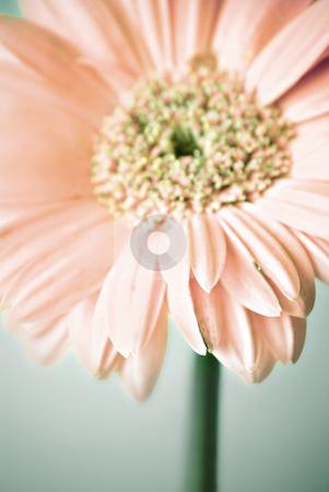 Gerbera daisy stock photo, Gerbera daisy (narrow dof) by HD Connelly