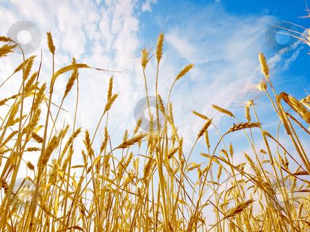 Wheat ears. stock photo, Ripe wheat ears on blue sky background - view from below. by Oleksiy Fedorov
