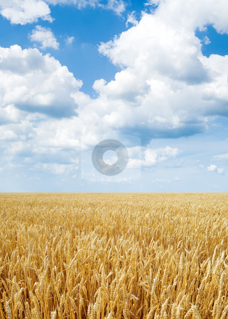 Wheat field. stock photo, Yellow ripe wheat field on blue sky background. by Oleksiy Fedorov