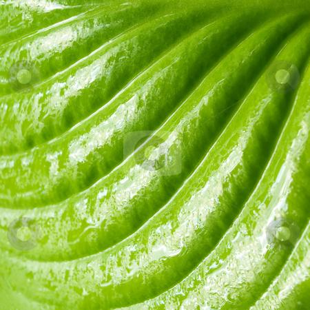 Leaf. stock photo, Wet green leaf closeup background. by Oleksiy Fedorov
