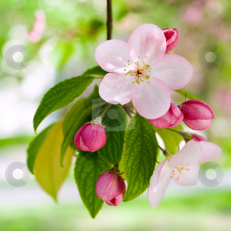 Springtime. stock photo, Blossoming apple. by Oleksiy Fedorov