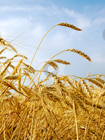 Wheat field. stock photo, Wheat ears on blue sky background. by Oleksiy Fedorov