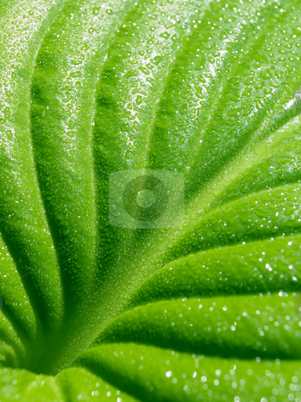 Leaf. stock photo, Green leaf with drops closeup background. by Oleksiy Fedorov