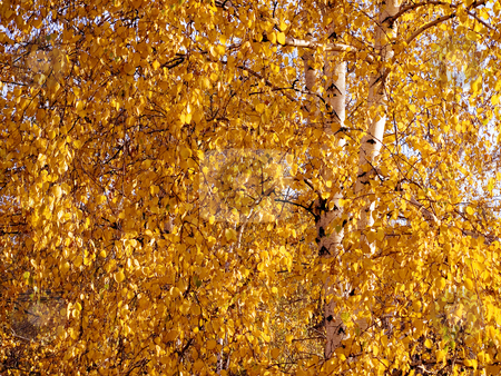 Yellow birch. stock photo, Texture background of autumnal yellow birch. by Oleksiy Fedorov