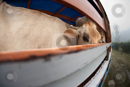 Cow on panel truck stock photo, Cow on panel truck waiting to be transported in Costa Rica by Scott Griessel