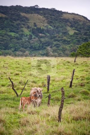 Costa Rican cows stock photo, Wide landscape featuring cows in Costa Rica by Scott Griessel