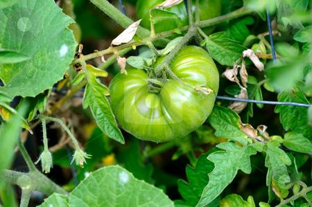 Green Heirloom Tomato stock photo, Unripe green  heirloom Tomato growing on the vine by Lynn Bendickson