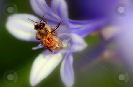 Agapanthus africanus stock photo, Beautifu purple agapanthus africanus with a bee close up by Henrik Lehnerer