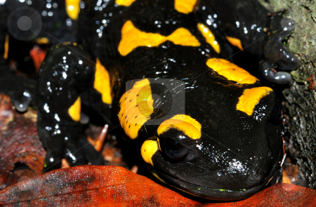 Fire salamander full face stock photo, Fire salamander full face macro shot. Photo taken in autumn Carpathian mountains. by fotosutra